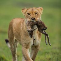 Lioness and her prey